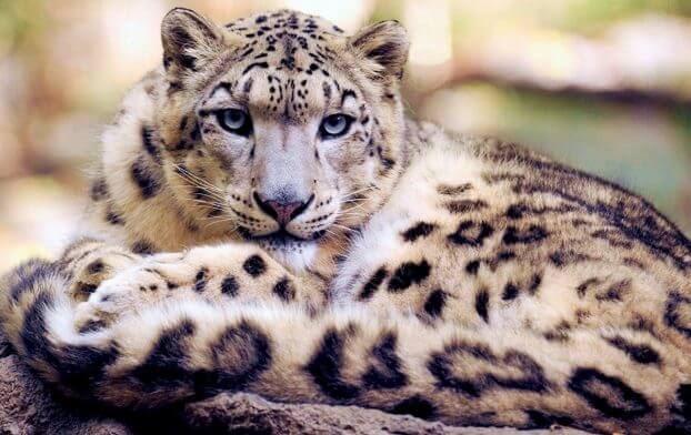facts of snow leopard