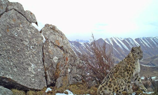 fun facts snow leopards