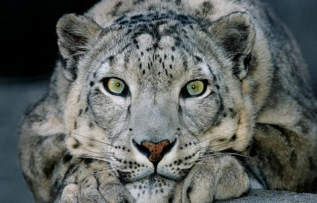 snow leopard interesting facts