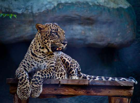 Interesting Facts About a Jaguar