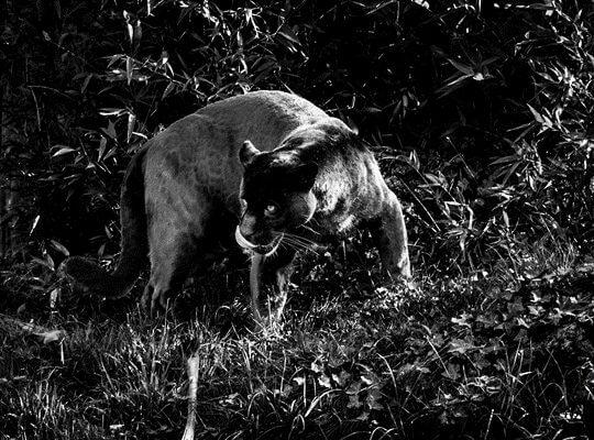 facts about a jaguar in the amazon rainforest