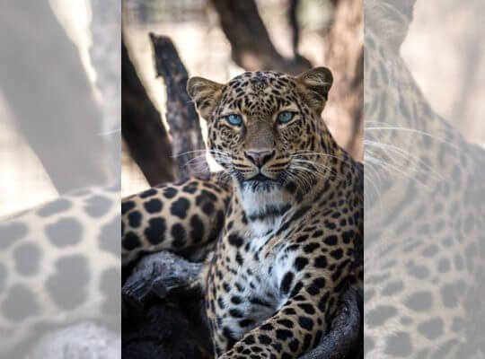 fun facts about a jaguar