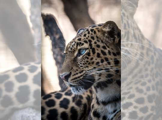 interesting facts about a jaguar