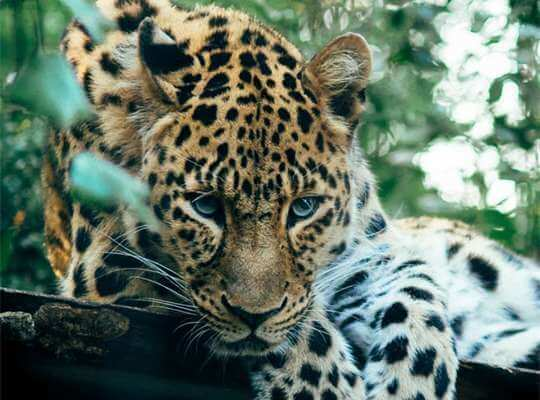 facts about a baby jaguar