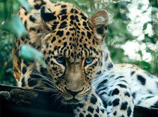 facts about a baby jaguar