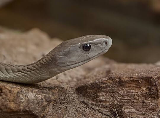 facts of cobra snake
