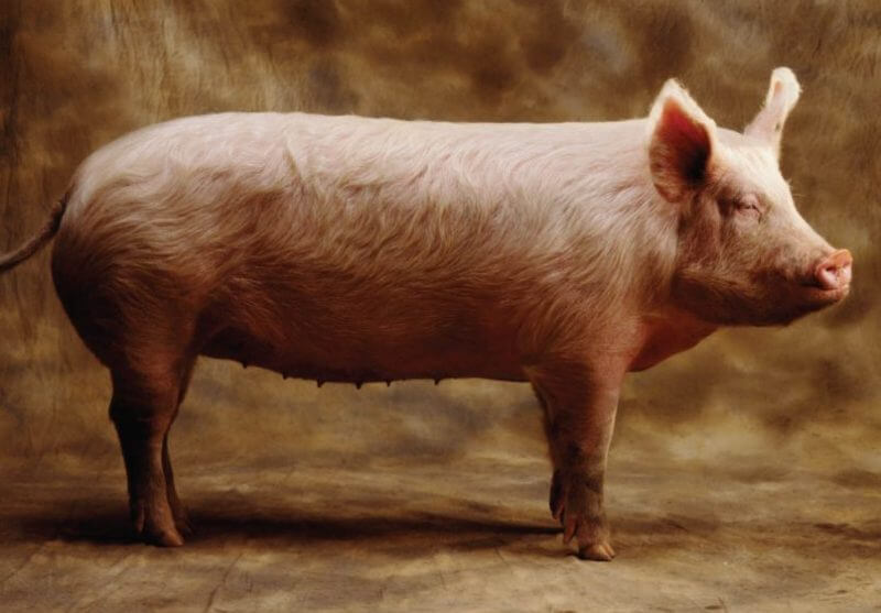 Big Pig the Most Animal Big in the World
