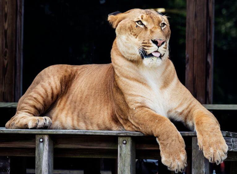 Hercules the Tiger the most big animal in the world