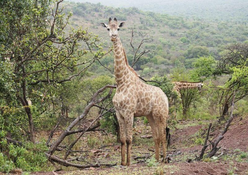 Zulu the Giraffe the most animal big in the world