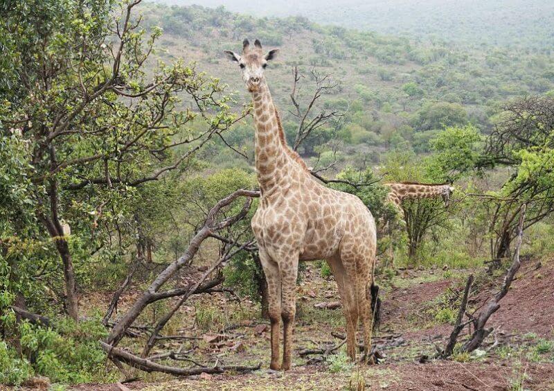 Zulu the Giraffe the most animal big in the world