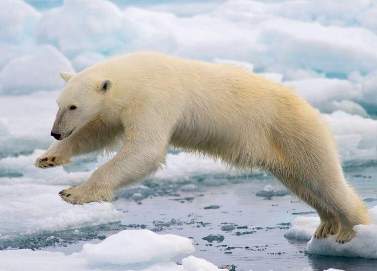 Habitat of a Polar Bear 2
