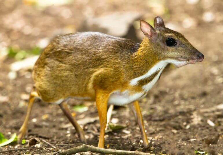 Napu Animal That Start with N