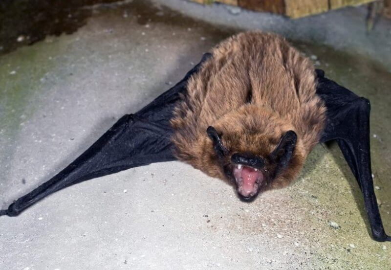 Noctule Animal that start with N