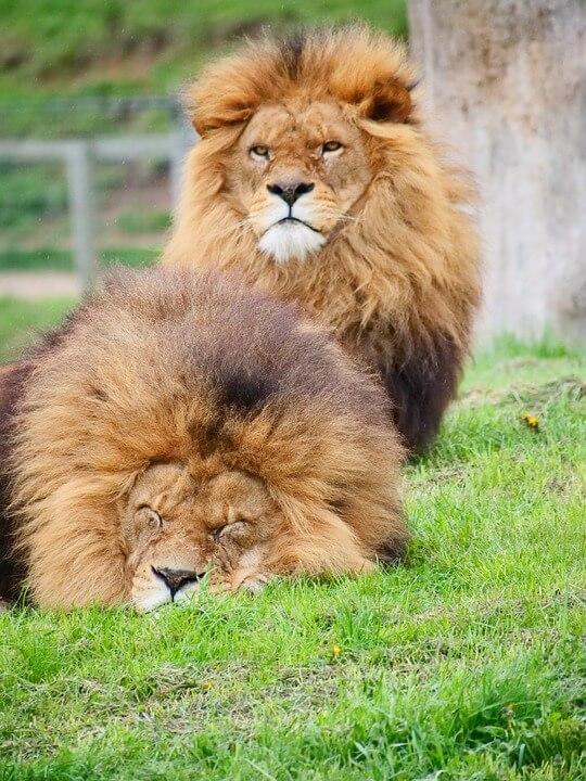 Habitat of a Lion