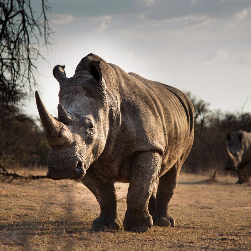 What Do Rhinos Eat?