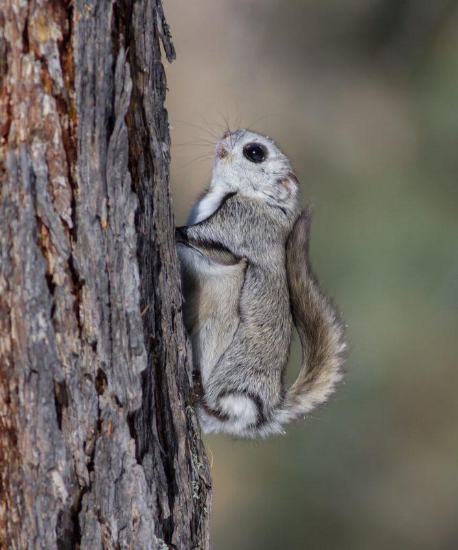 Siberian Flying Squirrel Cute Animal