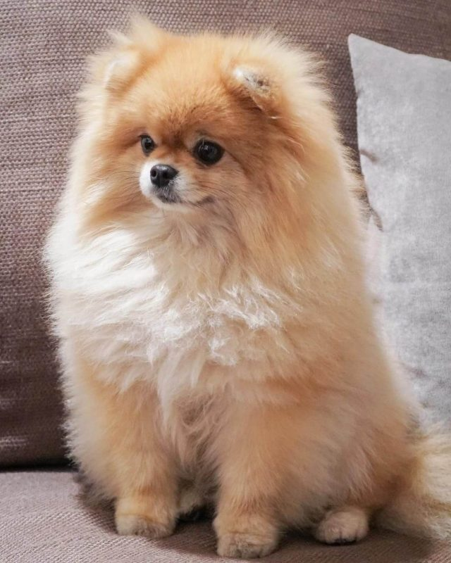 Pomeranian Dog Cute Animal