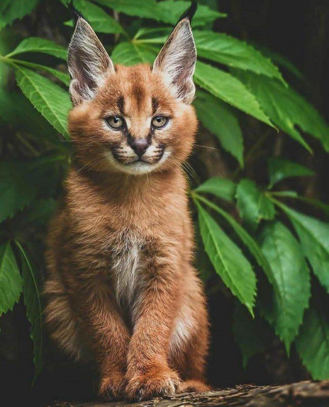 aracal Cat Cute Animal
