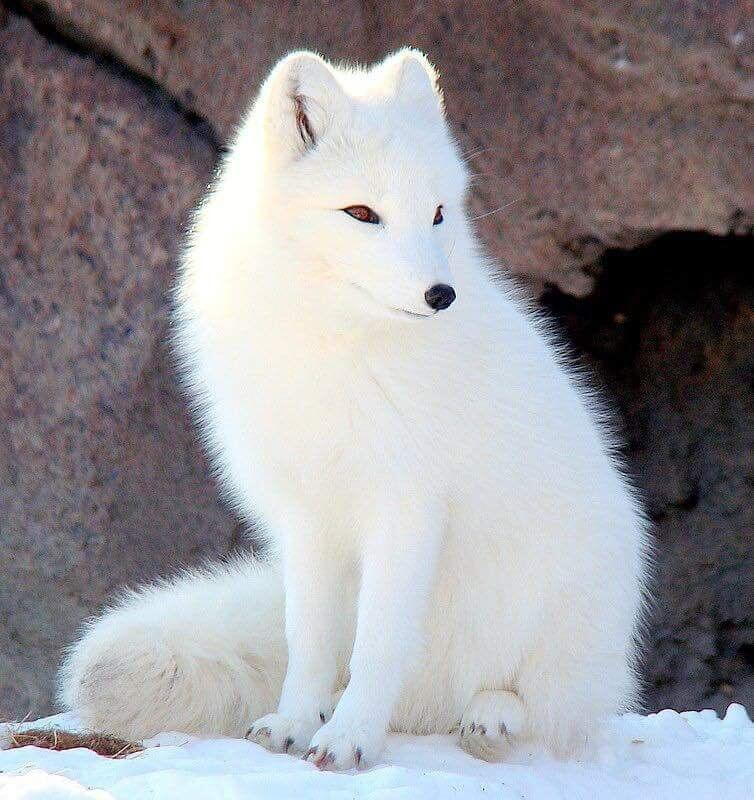 Arctic Fox Cute Animal