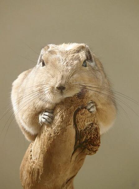 Gundi Cute Animal