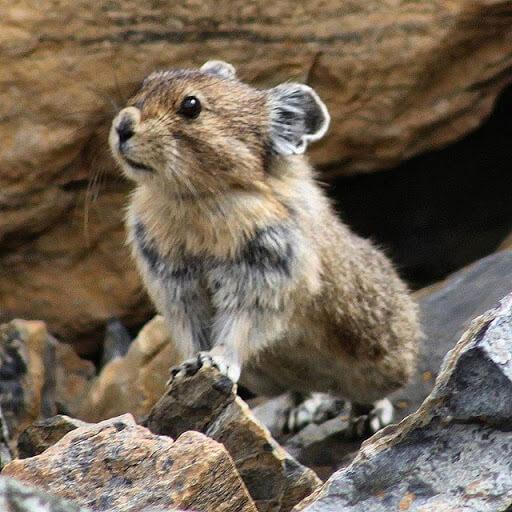 Pika Cute Animal