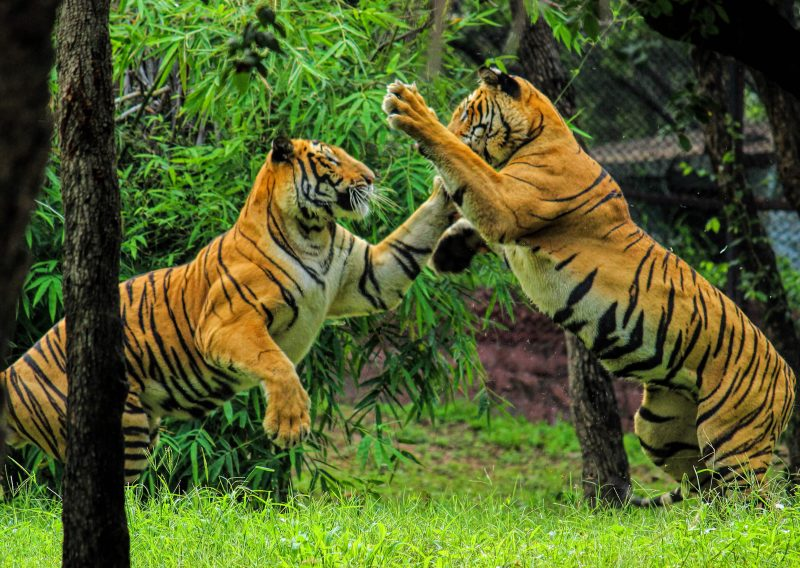 Facts about Bengal Tiger