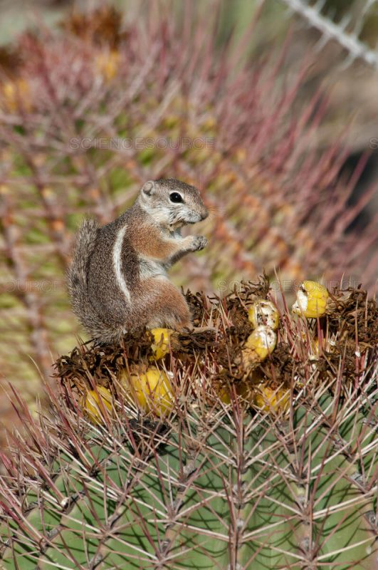 Harris's Antelope Squirrels Cute Animal