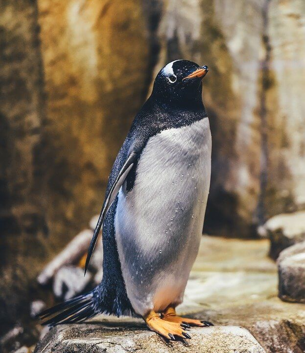 Emperor Penguin Cute Animal