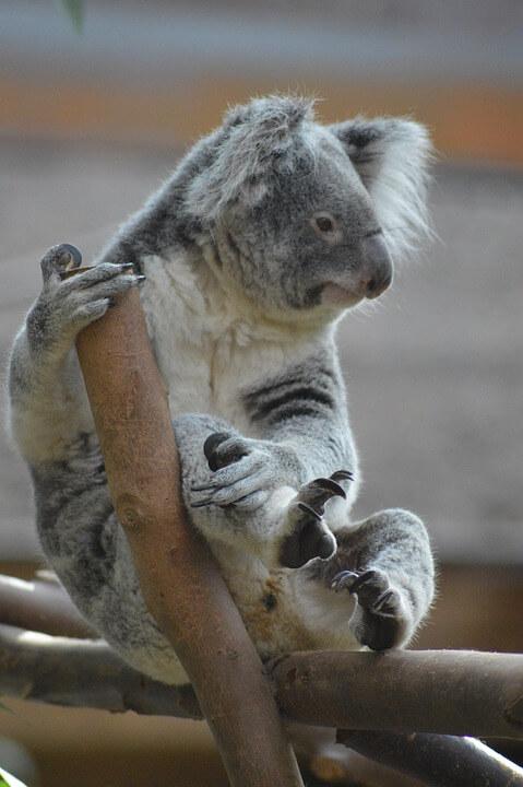 Koala Cute Animal