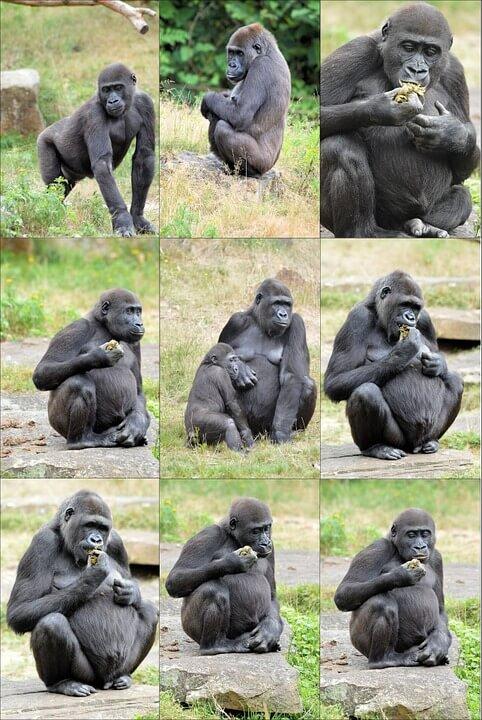 Gorillas prevent inbreeding