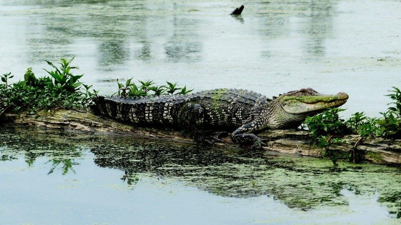 Difference Between Alligator and a Crocodile