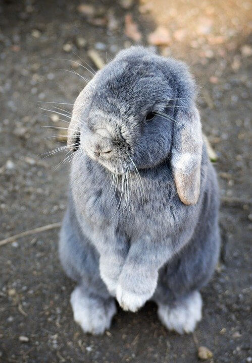 Rabbit Cute Animal