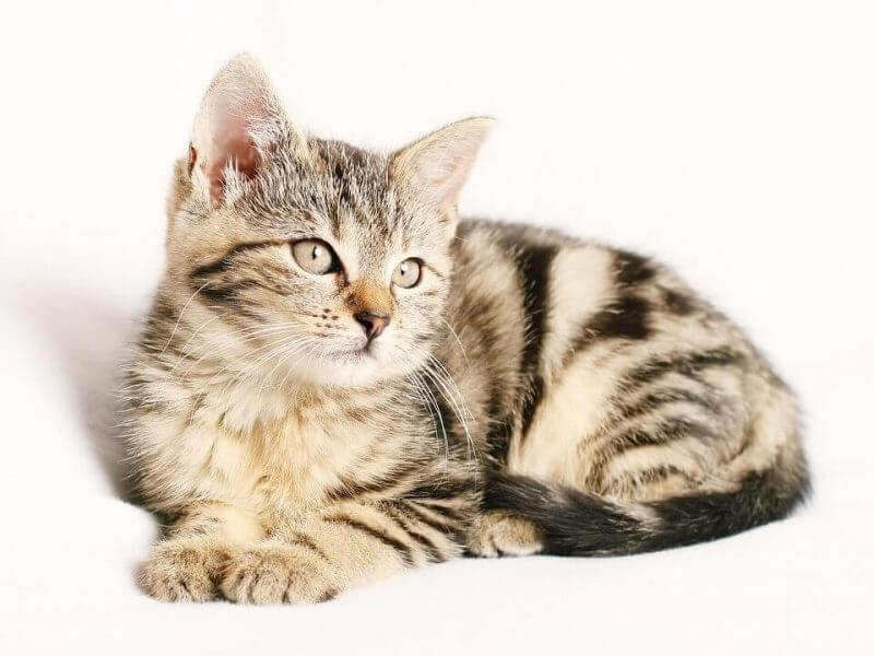 Girl Cat Names that Start with A