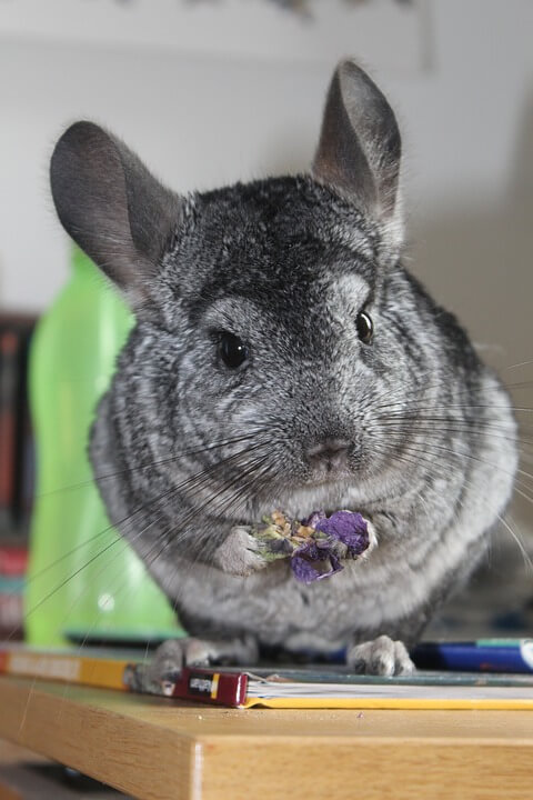 Chinchilla Cute Animal