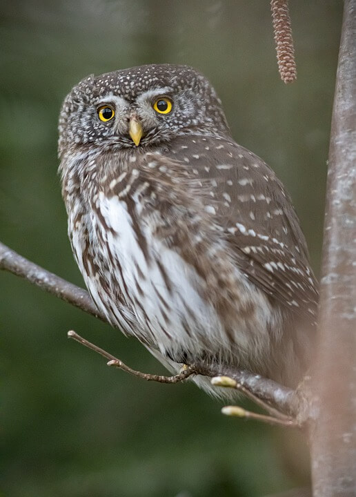 Pygmy Owl Cute Animal