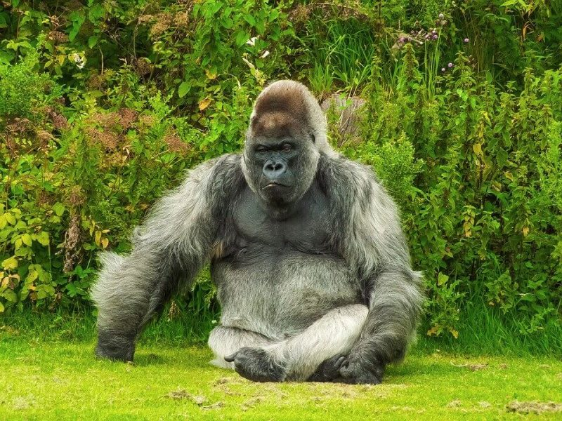 Facts about a Gorilla