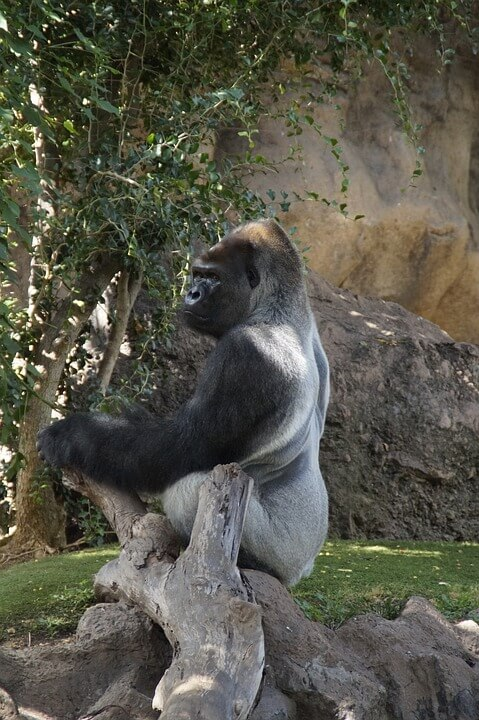 Facts about a Gorilla They can switch off their body scent