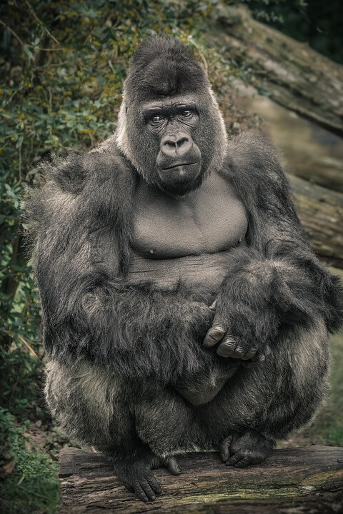 Facts about a Gorilla Different types of call