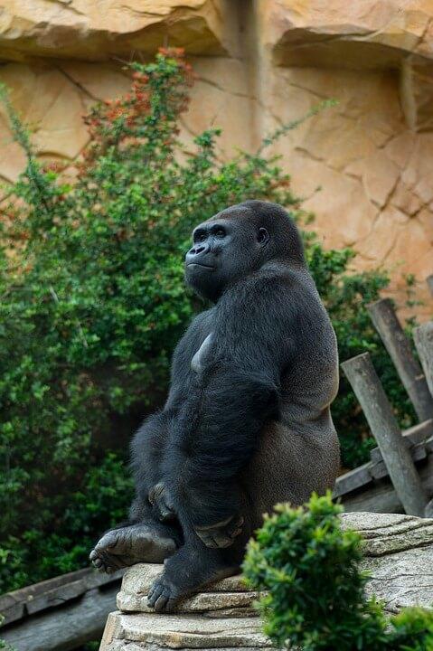 Gorillas take their resting seriously