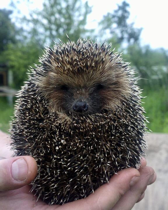 Hedgehog Cute Animal