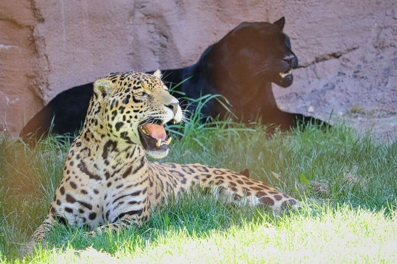What Do Jaguars Eat