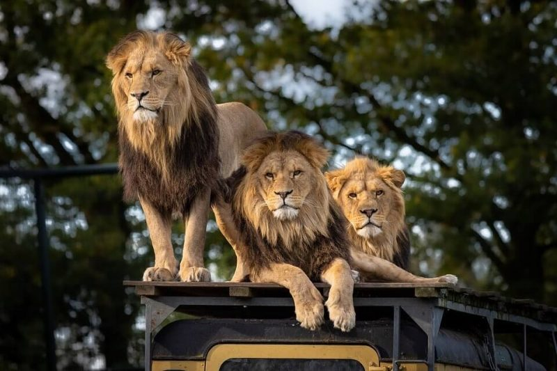 Facts about the Lions