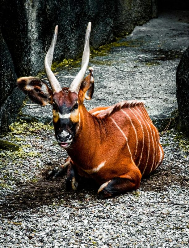 Bongo Cute Animal