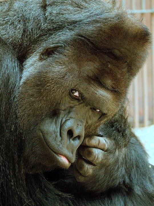 Gorillas do social grooming as part of their bonding