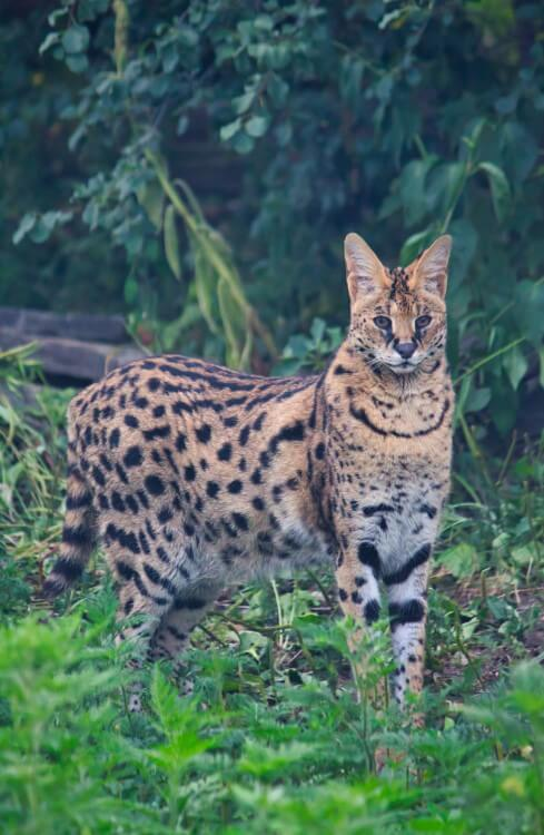 Serval Picture Animal Pet