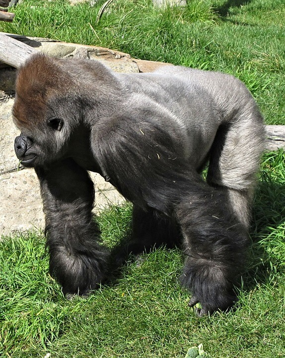 Gorillas were once not the largest primate