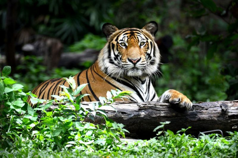 interesting facts about bengal tigers