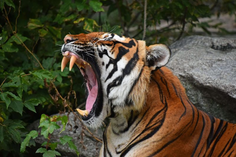 interesting facts about a bengal tiger