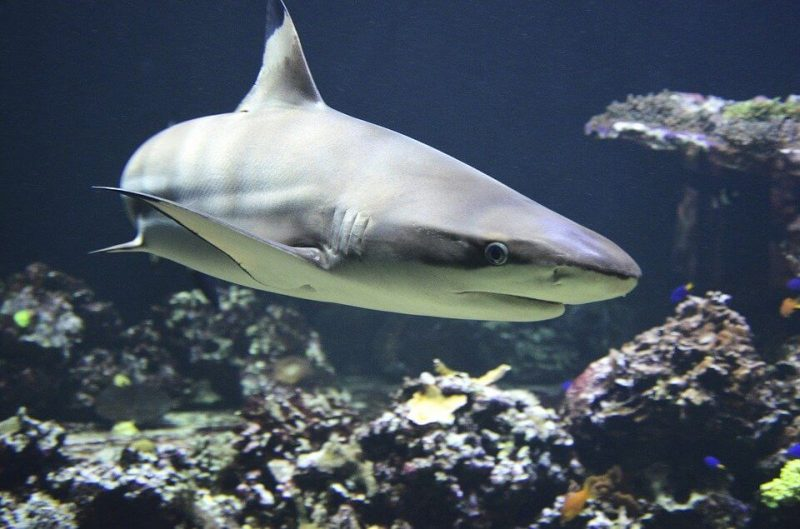 Closer to great white sharks rather than sand tiger sharks