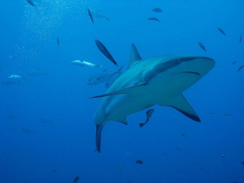 Tiger sharks like to be in warm water